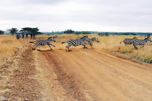 A herd of zebra run past members of Rongai Athletics Club during a training run at Nairobi National Park (Malcolm Anderson)