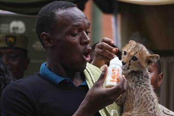 Usain Bolt feeds his newly adopted cheetah (Elias Makori)