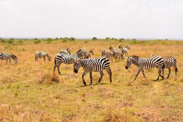 Zebras listening in on the Keino pre-meet press conference at Nairobi National Park (Organisers)